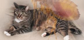 Ce să faci dacă o pisică are purici