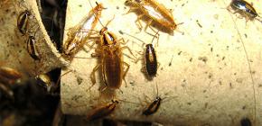 Cum de a ucide gândacii în apartament și cui să încredințeze controlul dăunătorilor