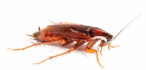Mai bine de otrăvire gândacii în apartament?