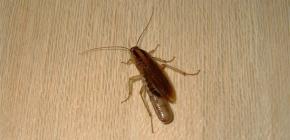 În cazul în care gândacii se ascund de obicei într-un apartament și se pot târî din canalizare?