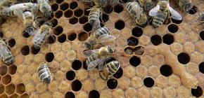 Utilizarea tinctului de molii de albine pentru tratamentul bolilor
