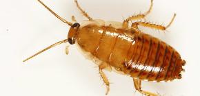 Cum să se ocupe de un apartament din gândaci?