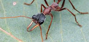 Despre Buldog Ants