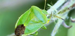 Cine sunt bug-urile murdare și de ce miros?