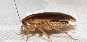 Aflați unde au dispărut gândacii și de ce au dispărut