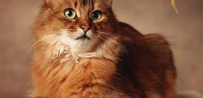 Cum sa scapam de purici de la o pisica: noi va tratam singur animalul