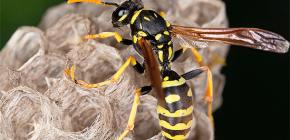 Cum pot înlătura în siguranță viespi din casă, precum și de la vila