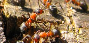 Cum furnicile se pregatesc pentru iarna