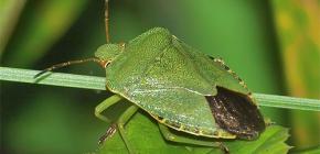 Ce arată un bug verde și merită să vă fie frică