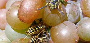 Cum să protejeze recolta de struguri de viespi și să o protejeze pentru întreaga perioadă de maturare