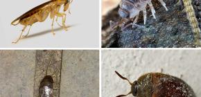 Tipurile de insecte care pot trăi în apartament și fotografiile lor