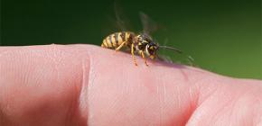 Venoasa de viespe: este bine pentru corpul uman si cum functioneaza