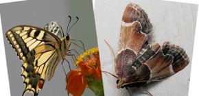 De ce molia nu are proboscis - nu este un fluture?