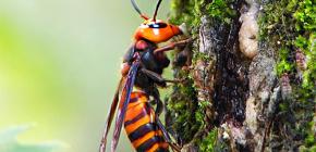 Caracteristici interesante ale vieții unui hornet uriaș japonez și pericolului mușcăturilor sale