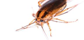 Remediu eficient pentru gândaci Global (Globol)