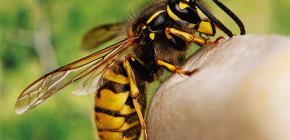 Sunt usturi de viespi utile sau, dimpotrivă, dăunătoare sănătății umane?