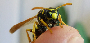 Consecințele muscaturilor de viespe: ce pot fi atacuri periculoase ale acestor insecte?