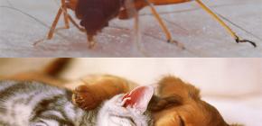 Poate musca de ploaie musca animale domestice (pisici, caini, pui)?