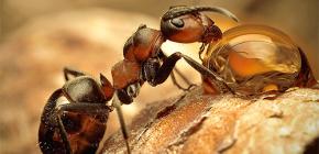Fotografii de diferite specii de furnici și caracteristici interesante ale vieții lor
