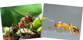 Despre pădurea roșie și furnicile domestice, precum și diferențele dintre ele
