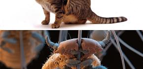 Pisicile au păduchi și cum să elimine paraziți mici din părul animalelor de companie