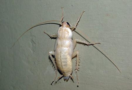 Gândacii albi în apartament - ce fel de albinoși sunt ei?