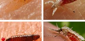 Ce fel de insecte care suge sânge pot fi găsite în pat sau pe canapea
