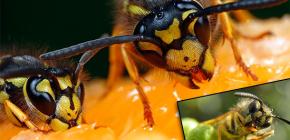 Ce mănâncă de obicei viespi și mănâncă carne?