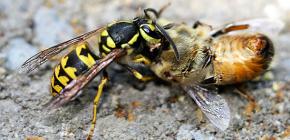 Metode de tratare a viespilor în stupină: cum să salvați albinele de atacuri
