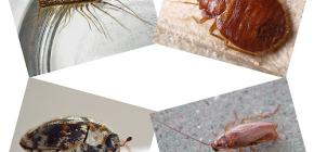 Ce fel de insecte domestice pot fi găsite în locuințe umane: paraziți și dăunători