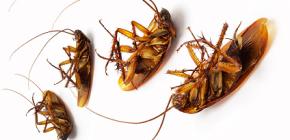 Plăci împotriva gândacilor