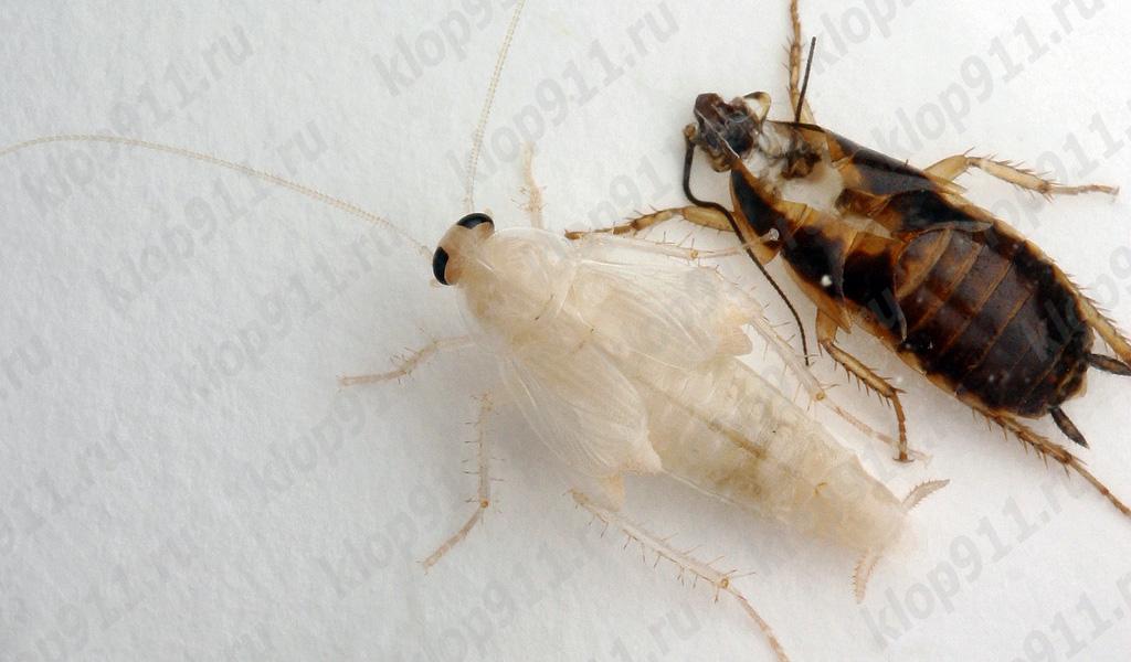 Redarea gândacilor roșii