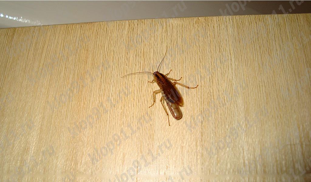 Gândacul feminin cu un ou (edem)