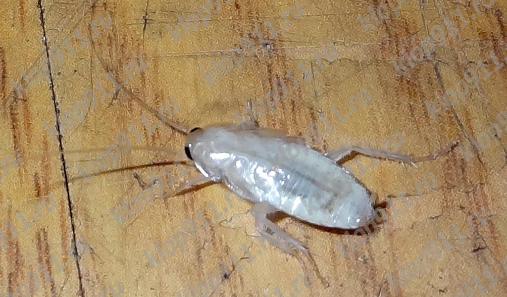 Albă gândac