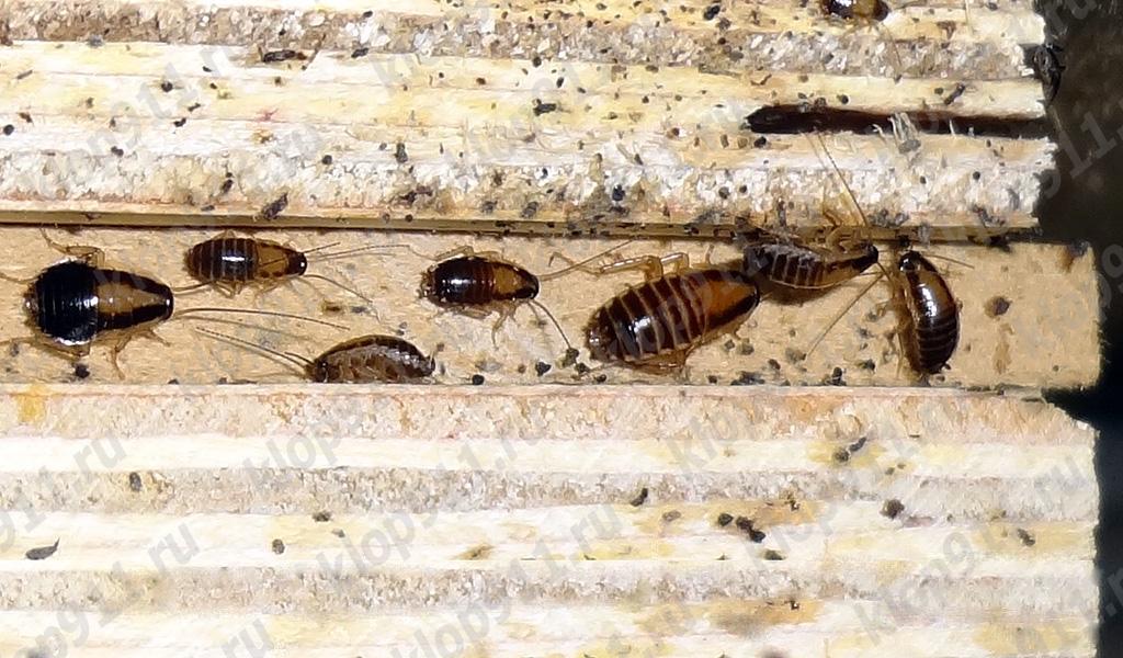 Acumularea de gândaci roșii în mobilier